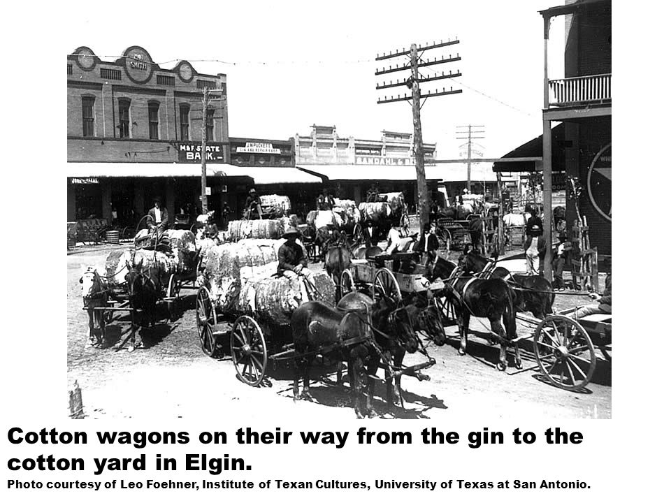 Cotton wagons on their way from the gin to the cotton yard in Elgin.