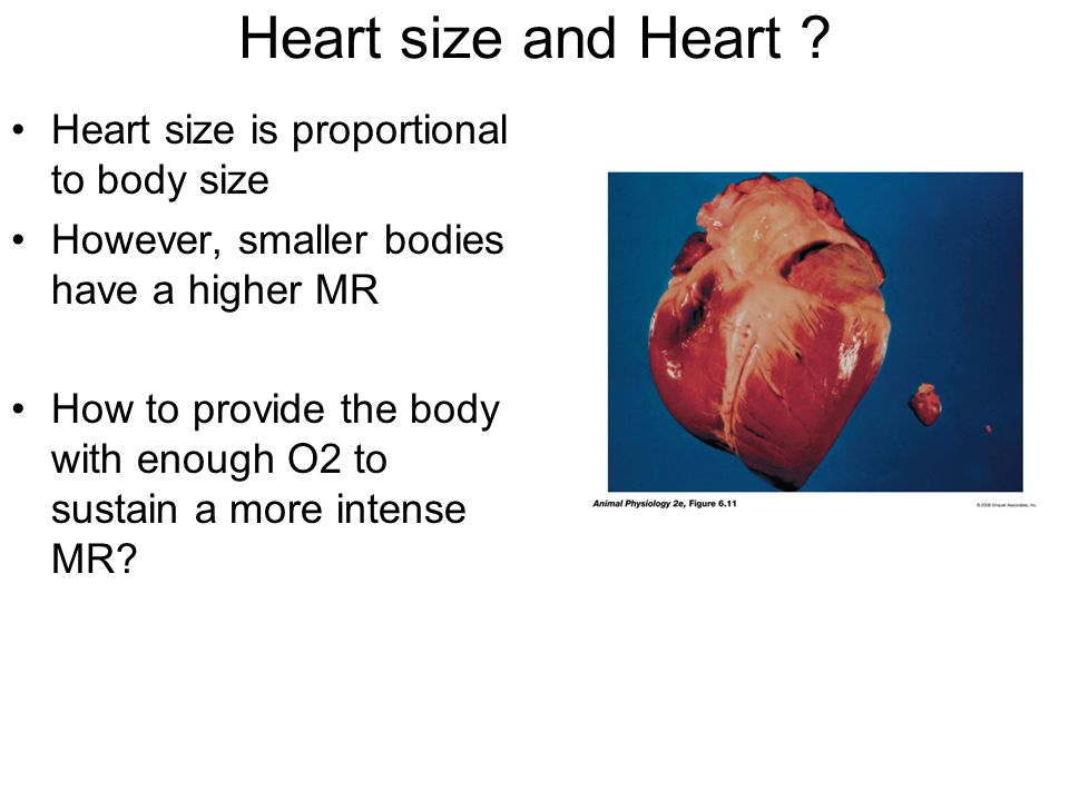 Heart size and Heart ? Heart size is proportional to body size However, smaller bodies have a higher MR How to provide the body with enough O2 to sust