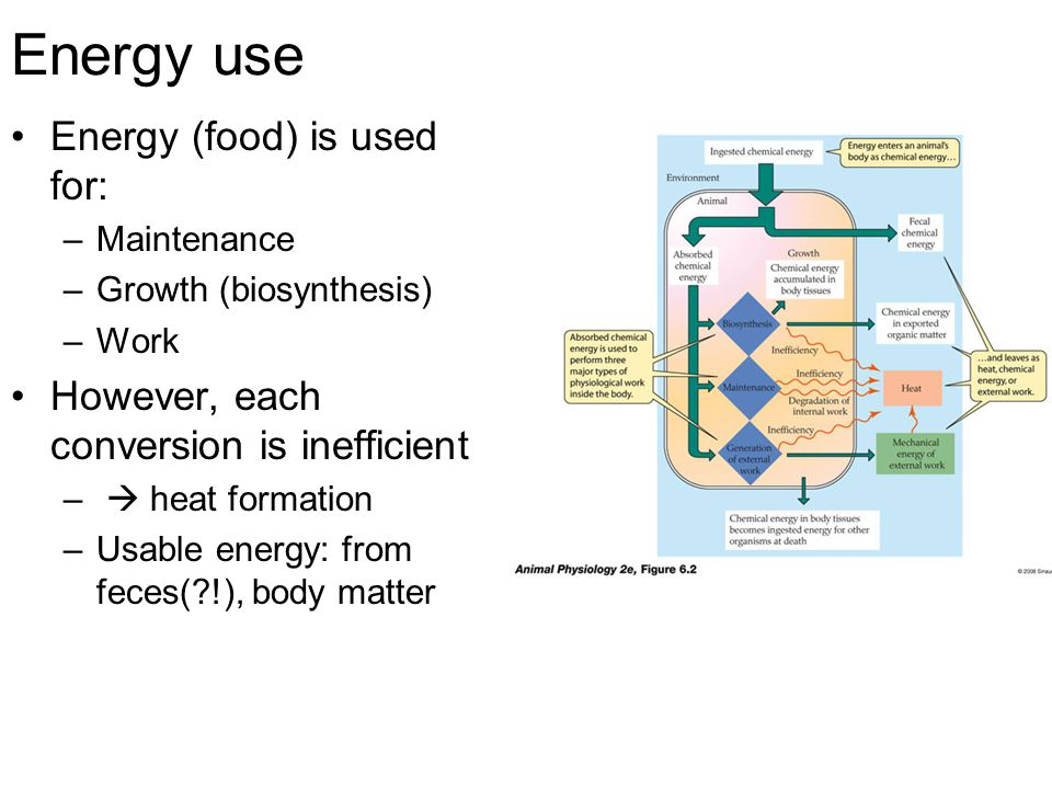 Energy use Energy (food) is used for: –Maintenance –Growth (biosynthesis) –Work However, each conversion is inefficient –  heat formation –Usable energy: from feces( !), body matter