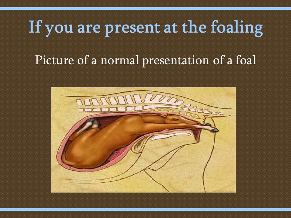 If you are present at the foaling Picture of a normal presentation of a foal