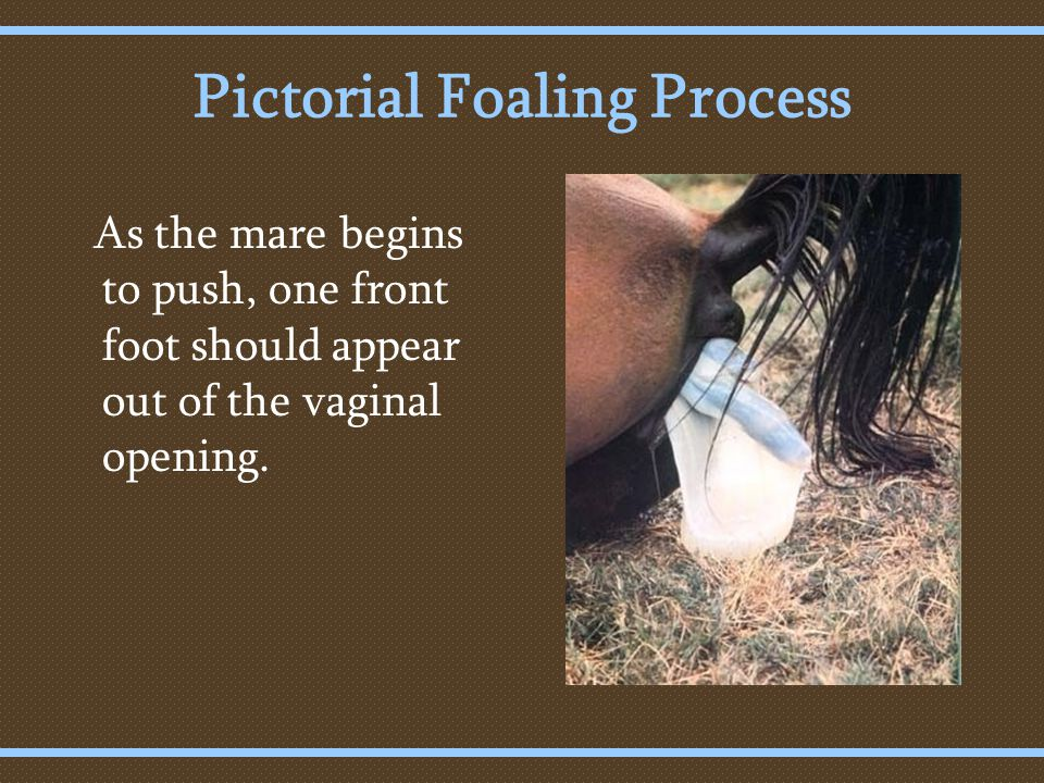 Pictorial Foaling Process As the mare begins to push, one front foot should appear out of the vaginal opening.