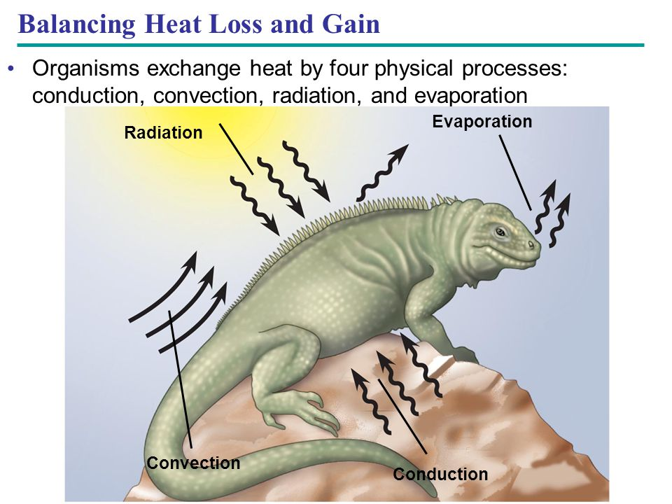 Balancing Heat Loss and Gain Organisms exchange heat by four physical processes: conduction, convection, radiation, and evaporation Radiation Evaporat