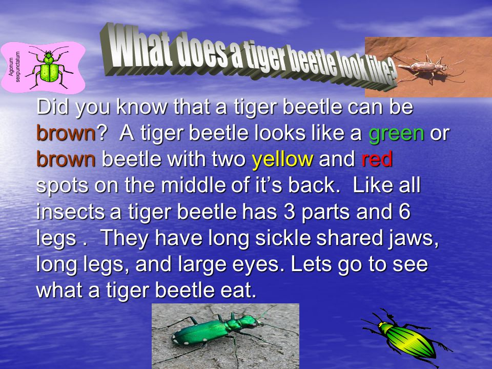 Did you know that a tiger beetle can be brown.