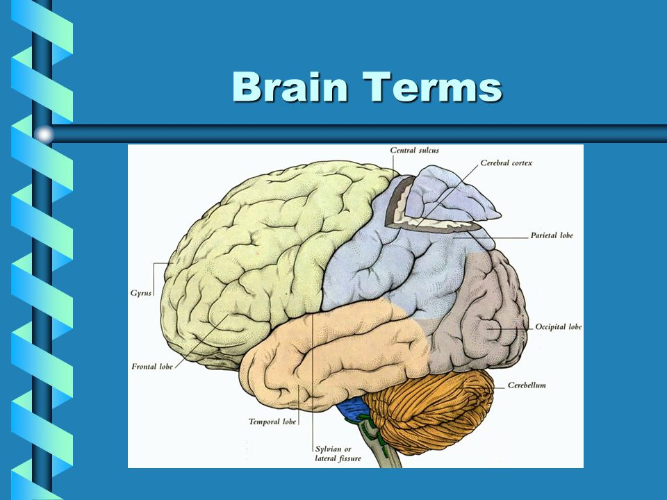 More Vocab… Brain: Control center of nervous system, also called cerebrumBrain: Control center of nervous system, also called cerebrum Lobes: Division of the brain with specific functionsLobes: Division of the brain with specific functions Cranial Nerves: 12 pairs abbrev.
