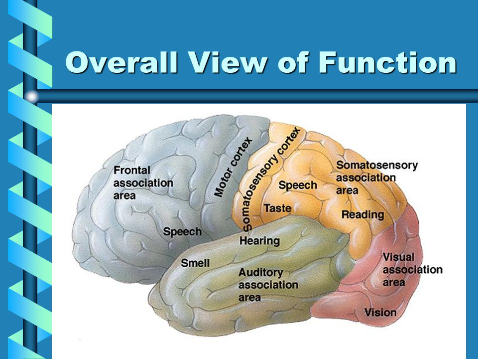 Lobes of the Brain Temporal Lobe:Temporal Lobe: –Location: Posterior lateral portions –Function: Smell, taste, hearing (music, noise, speech  word to thought, memory)