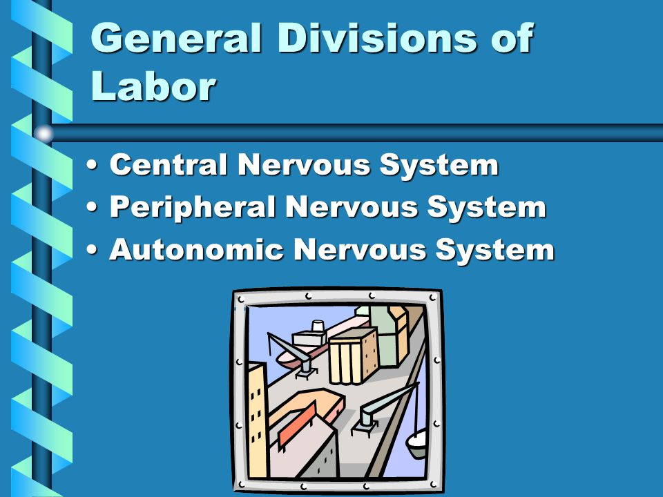 General Divisions of Labor Central Nervous SystemCentral Nervous System Peripheral Nervous SystemPeripheral Nervous System Autonomic Nervous SystemAutonomic Nervous System
