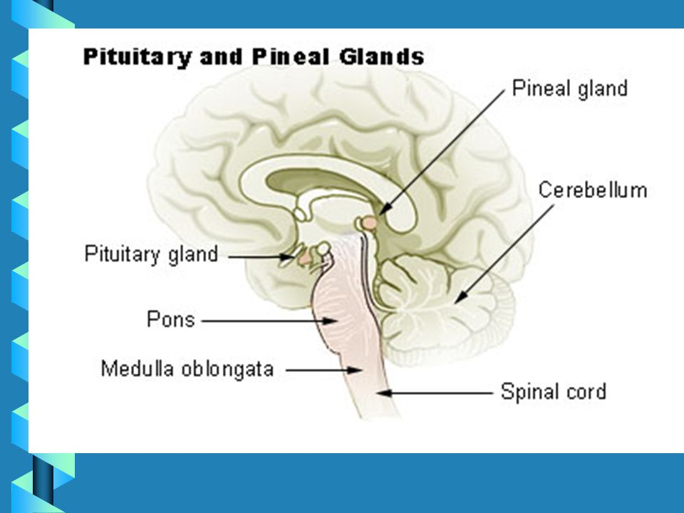 Brain Anatomy and Phys Pineal Gland:Pineal Gland: –Location: Superior to brainstem –Function: Circadian Rhythms Pons:Pons: –Location: Brain Stem –Function: Relays sensory information b/t cerebrum and cerebellum (possibly involved in dreaming)
