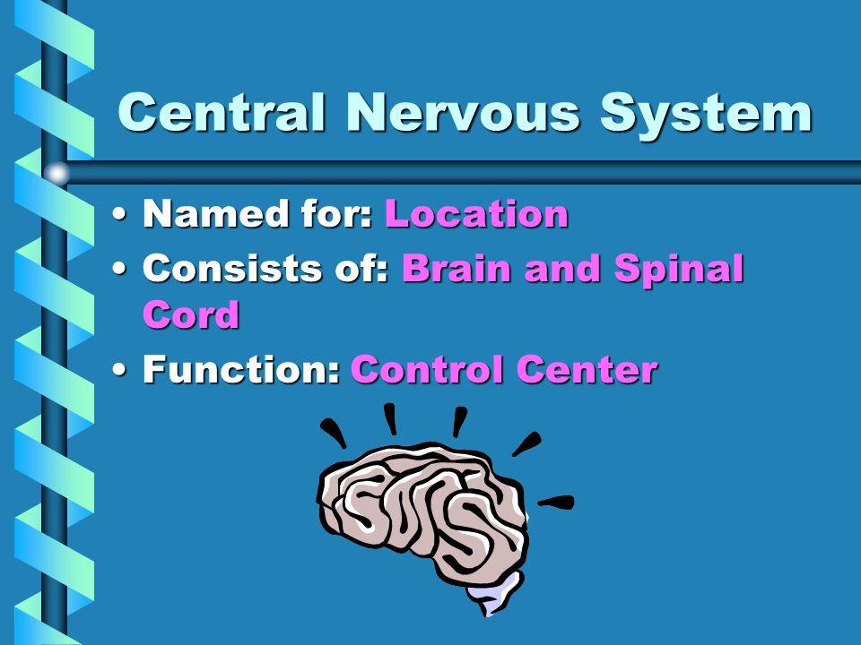 Lobes of the Brain Occipital Lobe:Occipital Lobe: –Location: Posterior Back, bottom –Function: Visual area that interprets shape, color, distance, etc.