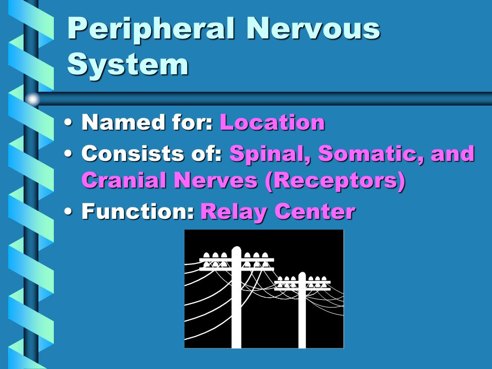 Central Nervous System Named for: LocationNamed for: Location Consists of: Brain and Spinal CordConsists of: Brain and Spinal Cord Function: Control CenterFunction: Control Center