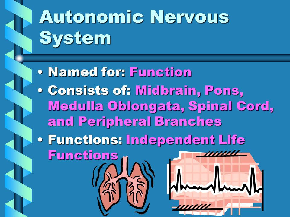 Autonomic Nervous System Named for: FunctionNamed for: Function Consists of: Midbrain, Pons, Medulla Oblongata, Spinal Cord, and Peripheral BranchesConsists of: Midbrain, Pons, Medulla Oblongata, Spinal Cord, and Peripheral Branches Functions: Independent Life FunctionsFunctions: Independent Life Functions