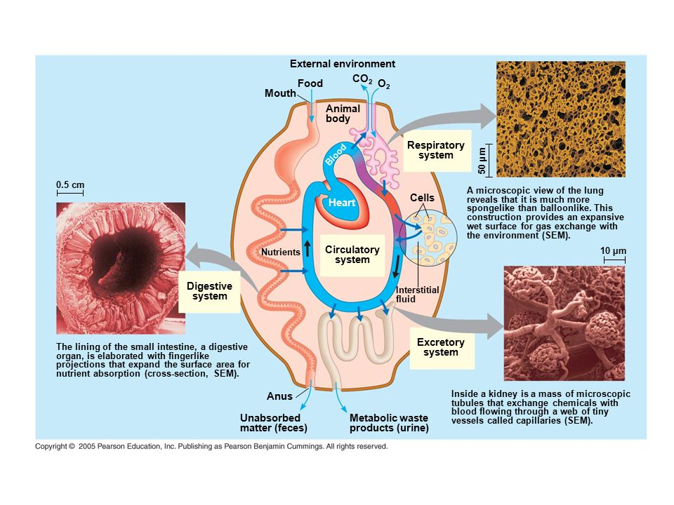Digestive system Circulatory system Excretory system Interstitial fluid Cells Nutrients Heart Animal body Respiratory system Blood CO 2 Food Mouth External environment O2O2 50 µm A microscopic view of the lung reveals that it is much more spongelike than balloonlike.