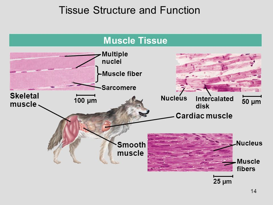 14 Muscle Tissue 50 µm Skeletal muscle Multiple nuclei Muscle fiber Sarcomere 100 µm Smooth muscle Cardiac muscle Nucleus Muscle fibers 25 µm Nucleus Intercalated disk Tissue Structure and Function