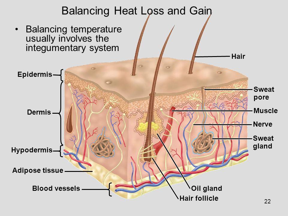 22 Epidermis Dermis Hypodermis Adipose tissue Blood vessels Hair Sweat pore Muscle Nerve Sweat gland Oil gland Hair follicle Balancing Heat Loss and G
