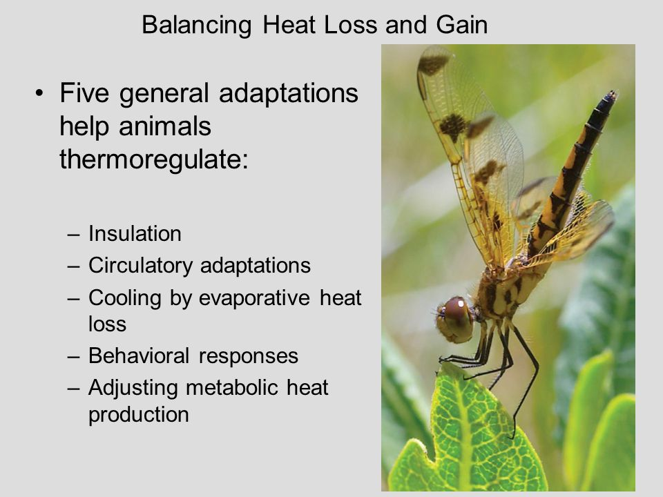 23 Five general adaptations help animals thermoregulate: –Insulation –Circulatory adaptations –Cooling by evaporative heat loss –Behavioral responses