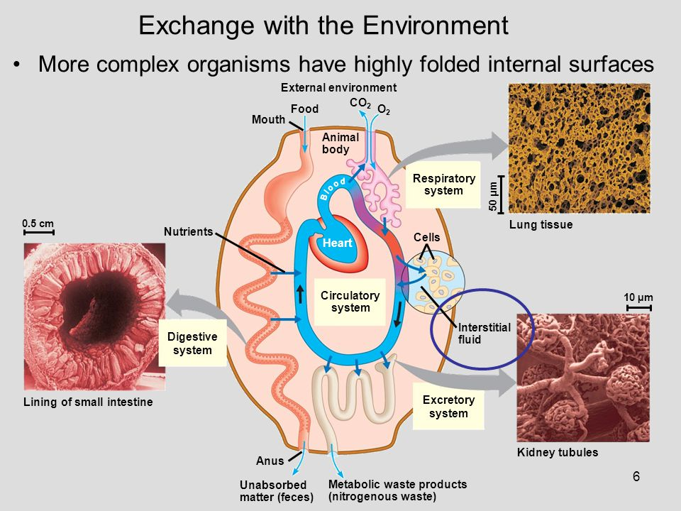 6 0.5 cm Nutrients Digestive system Lining of small intestine Mouth Food External environment Animal body CO 2 O2O2 Circulatory system Heart Respirato