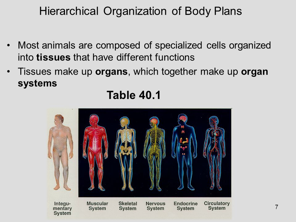 7 Most animals are composed of specialized cells organized into tissues that have different functions Tissues make up organs, which together make up o