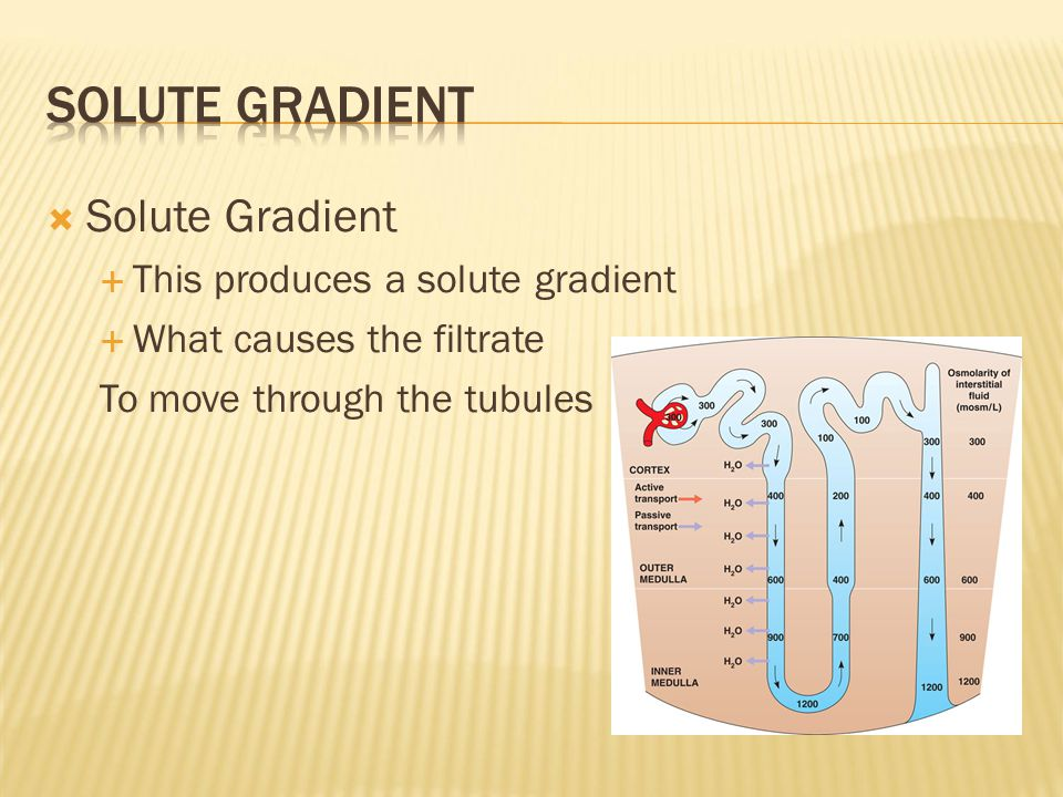  Solute Gradient  This produces a solute gradient  What causes the filtrate To move through the tubules