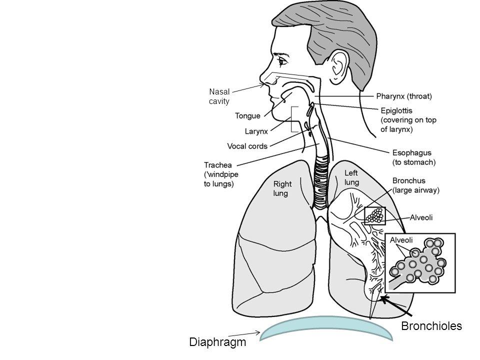 Nasal cavity Bronchioles Diaphragm