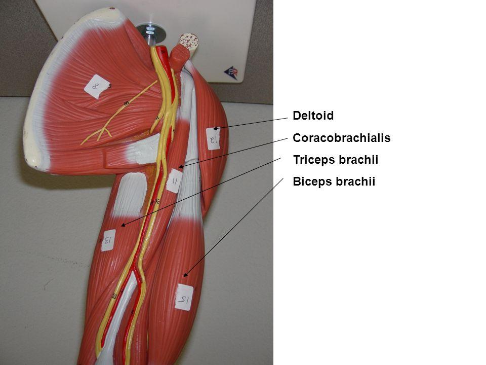 Deltoid Coracobrachialis Triceps brachii Biceps brachii