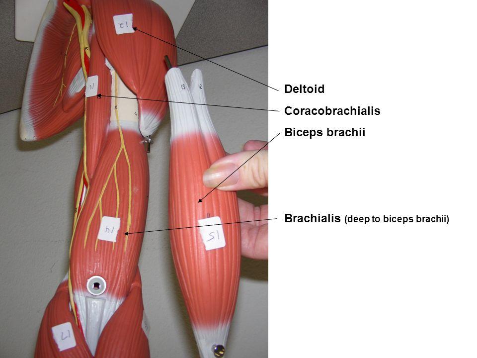 Deltoid Coracobrachialis Biceps brachii Brachialis (deep to biceps brachii)