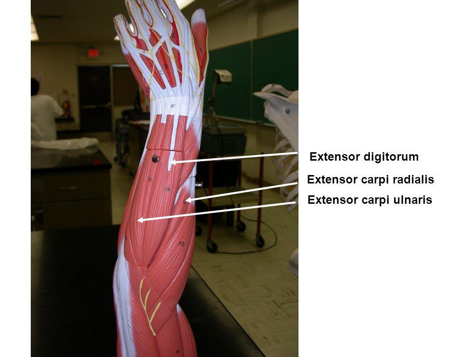 Extensor digitorum Extensor carpi radialis Extensor carpi ulnaris