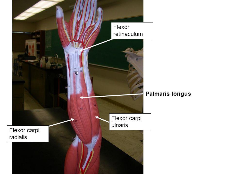 Palmaris longus Flexor retinaculum Flexor carpi radialis Flexor carpi ulnaris
