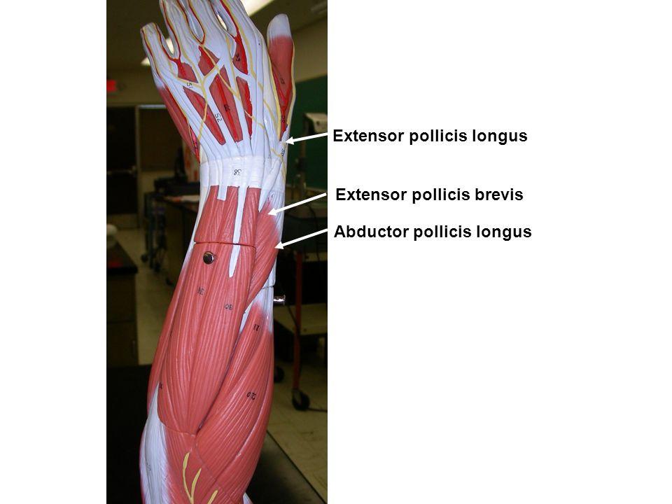 Extensor pollicis longus Extensor pollicis brevis Abductor pollicis longus