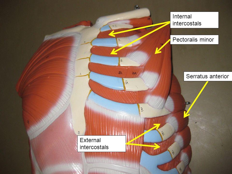 Pectoralis minor External intercostals Serratus anterior Internal intercostals