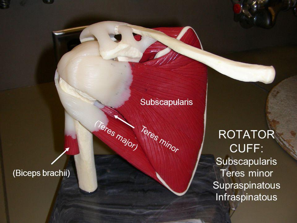 ROTATOR CUFF: Subscapularis Teres minor Supraspinatous Infraspinatous Subscapularis (Teres major) (Biceps brachii) Teres minor