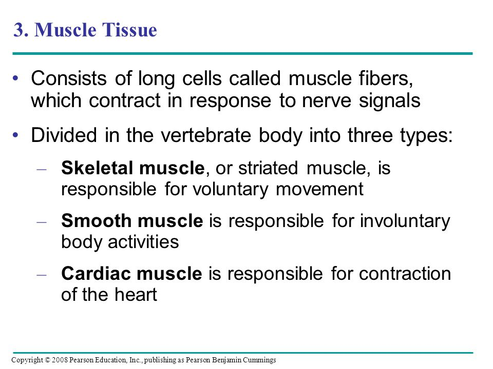 3. Muscle Tissue Consists of long cells called muscle fibers, which contract in response to nerve signals Divided in the vertebrate body into three ty