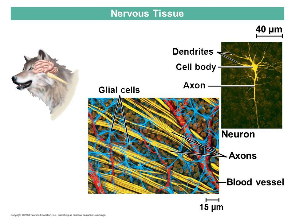 Glial cells Nervous Tissue 15 µm Dendrites Cell body Axon Neuron Axons Blood vessel 40 µm