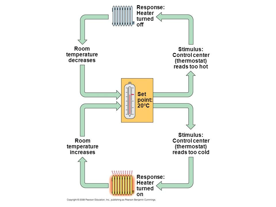 Response: Heater turned off Stimulus: Control center (thermostat) reads too hot Room temperature decreases Set point: 20ºC Room temperature increases Stimulus: Control center (thermostat) reads too cold Response: Heater turned on