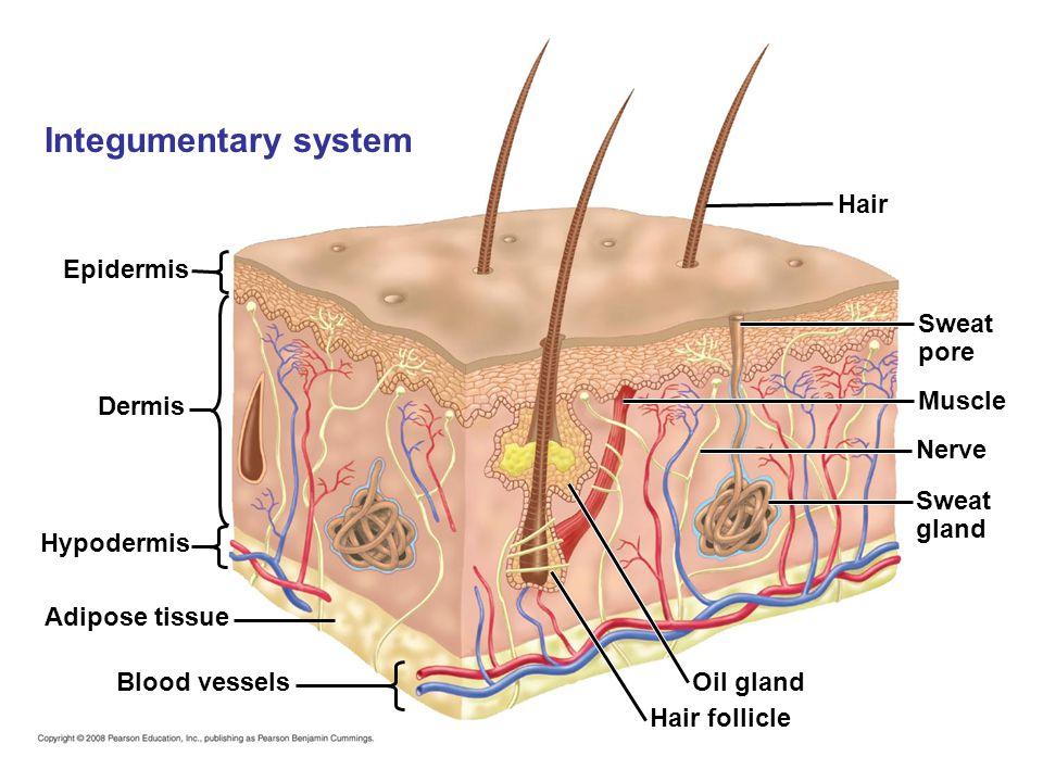 Epidermis Dermis Hypodermis Adipose tissue Blood vessels Hair Sweat pore Muscle Nerve Sweat gland Oil gland Hair follicle Integumentary system