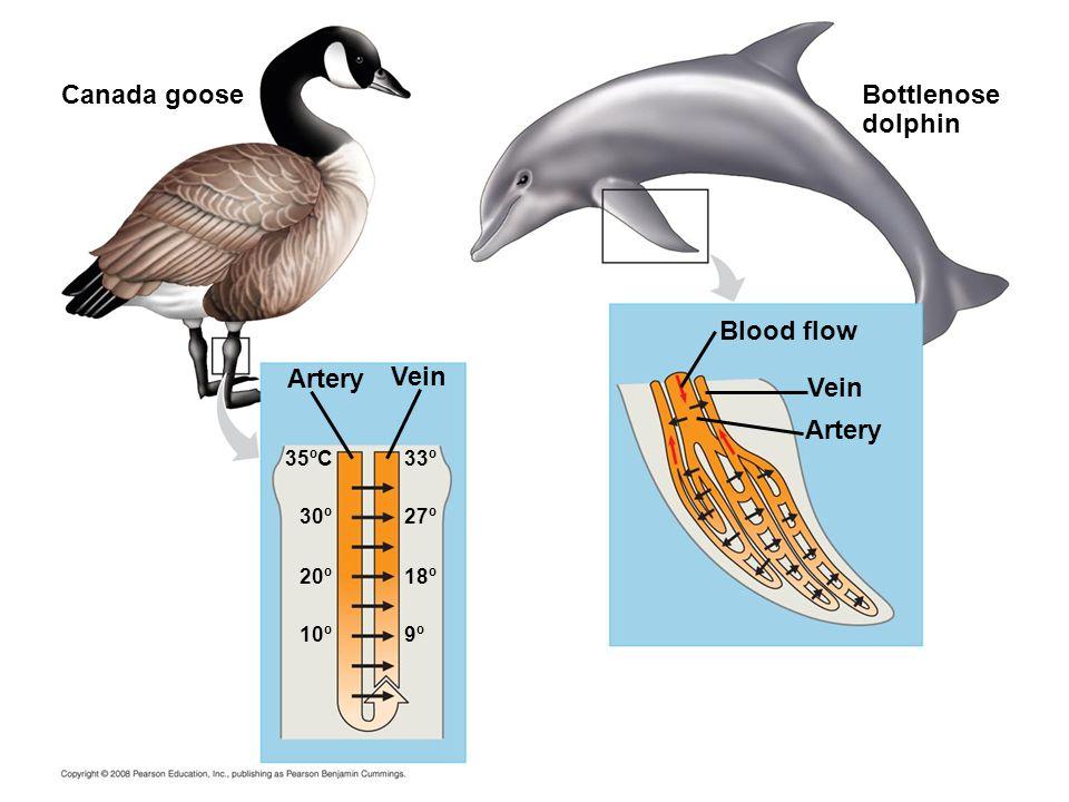 Canada gooseBottlenose dolphin Artery Vein Blood flow 33º35ºC 27º 30º 18º 20º 10º9º
