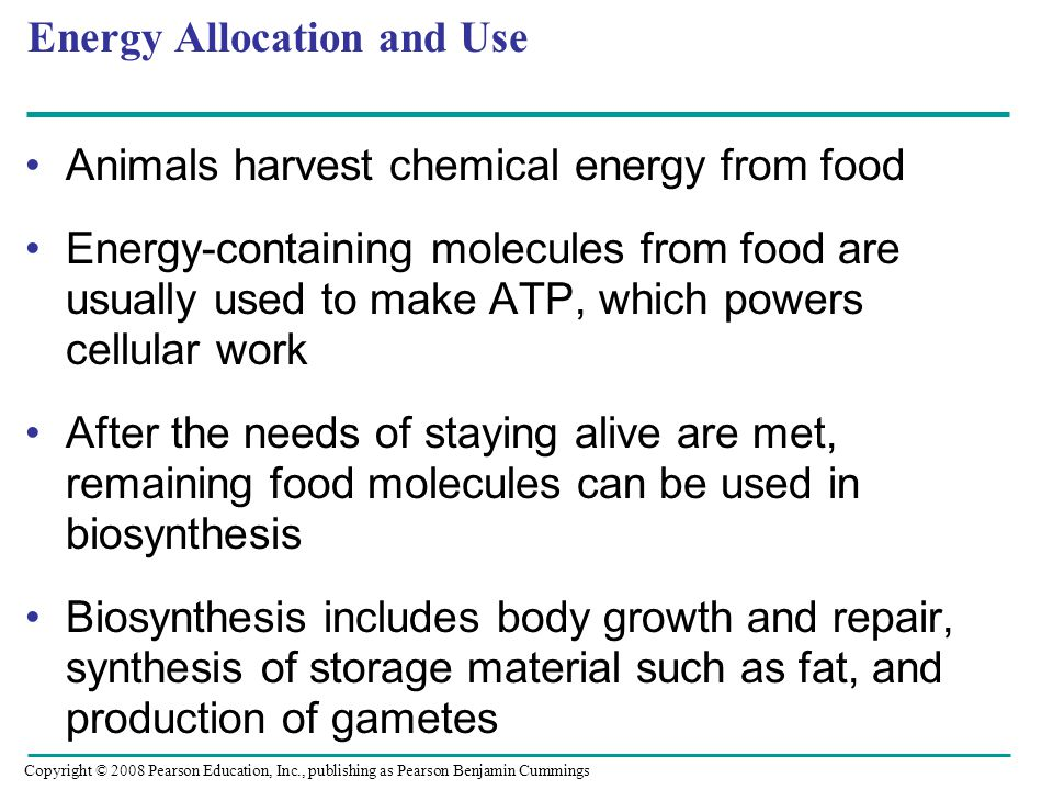 Energy Allocation and Use Animals harvest chemical energy from food Energy-containing molecules from food are usually used to make ATP, which powers cellular work After the needs of staying alive are met, remaining food molecules can be used in biosynthesis Biosynthesis includes body growth and repair, synthesis of storage material such as fat, and production of gametes Copyright © 2008 Pearson Education, Inc., publishing as Pearson Benjamin Cummings
