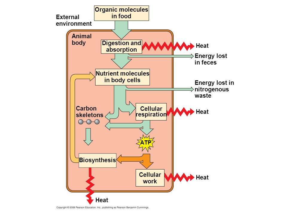 Organic molecules in food External environment Animal body Digestion and absorption Nutrient molecules in body cells Carbon skeletons Cellular respiration ATP Heat Energy lost in feces Energy lost in nitrogenous waste Heat Biosynthesis Heat Cellular work