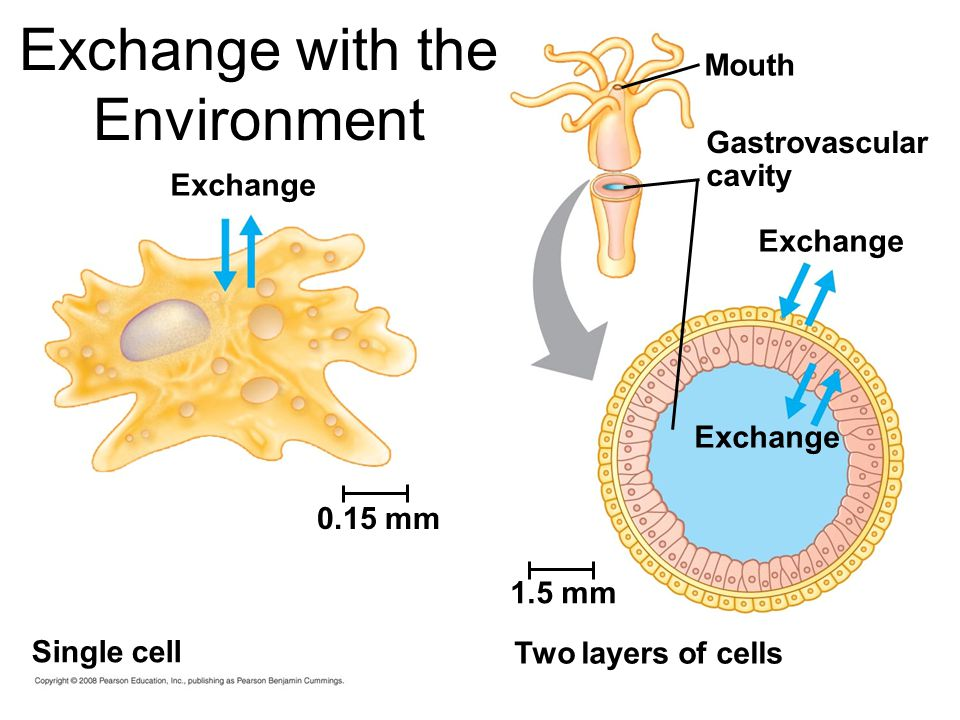 Exchange 0.15 mm Single cell 1.5 mm Two layers of cells Exchange Mouth Gastrovascular cavity Exchange with the Environment