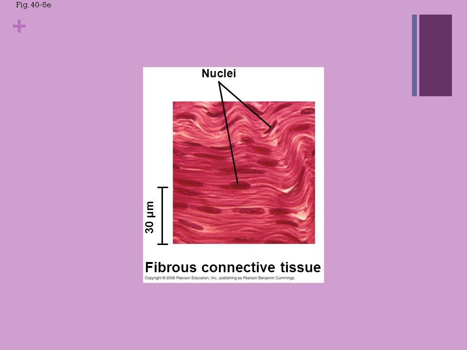 + Fig. 40-5f Osteon Central canal Bone 700 µm