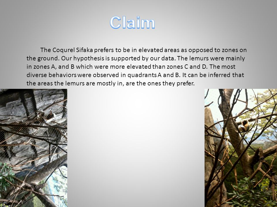 The Coqurel Sifaka prefers to be in elevated areas as opposed to zones on the ground.