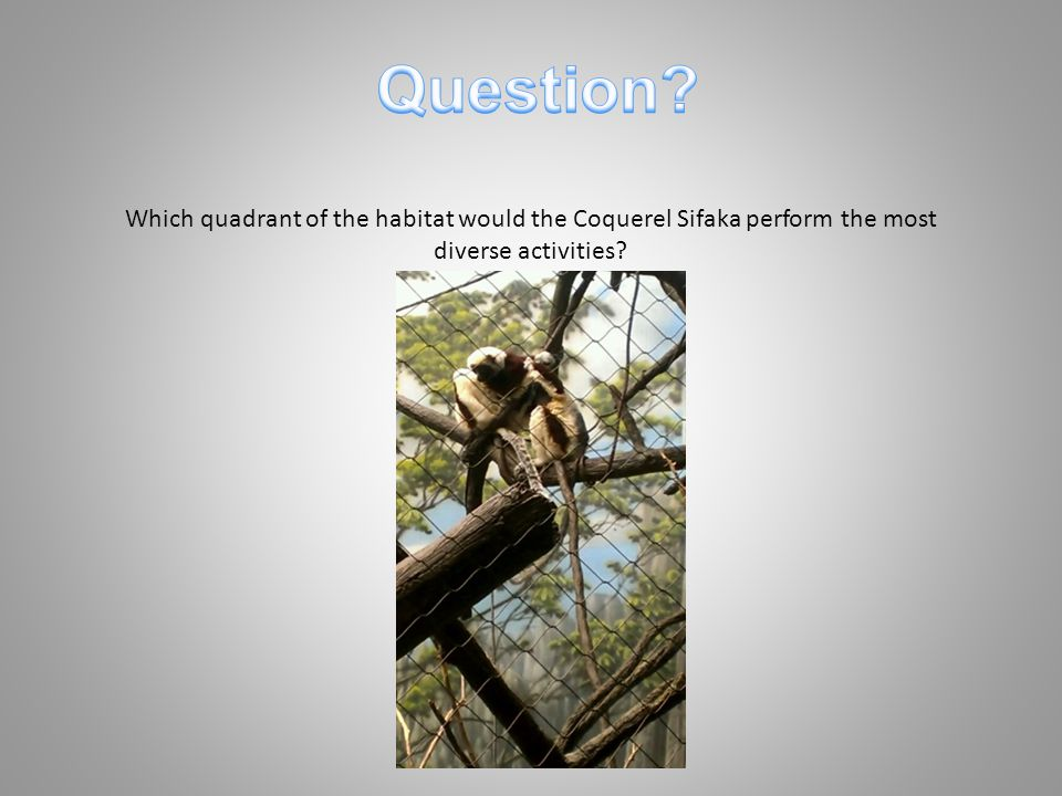 Which quadrant of the habitat would the Coquerel Sifaka perform the most diverse activities