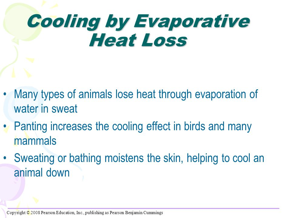 Cooling by Evaporative Heat Loss Many types of animals lose heat through evaporation of water in sweat Panting increases the cooling effect in birds and many mammals Sweating or bathing moistens the skin, helping to cool an animal down Copyright © 2008 Pearson Education, Inc., publishing as Pearson Benjamin Cummings