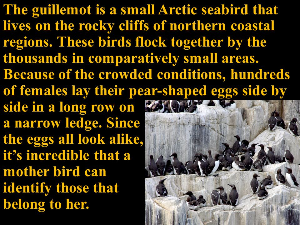 The guillemot is a small Arctic seabird that lives on the rocky cliffs of northern coastal regions.