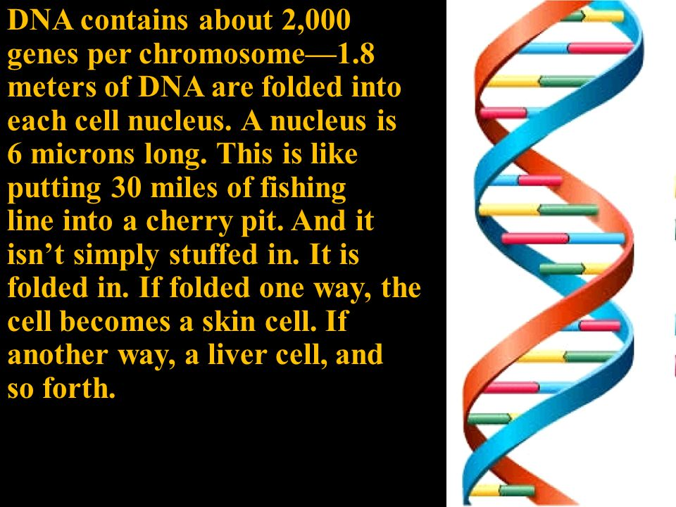 DNA contains about 2,000 genes per chromosome—1.8 meters of DNA are folded into each cell nucleus.