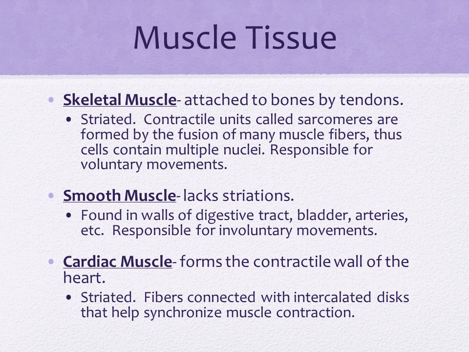 Muscle Tissue Skeletal Muscle- attached to bones by tendons.