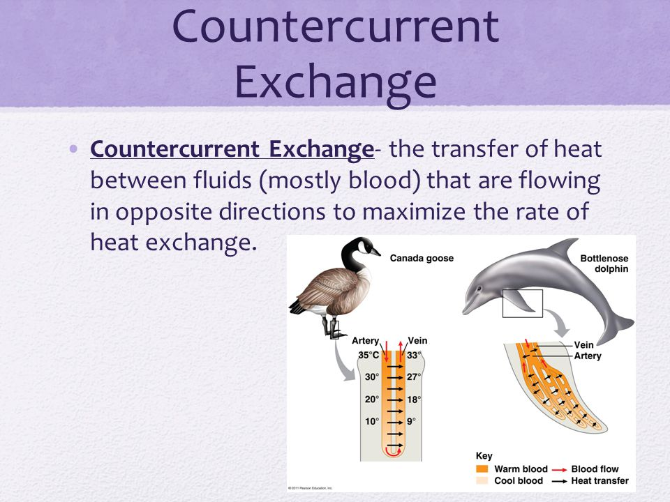 Countercurrent Exchange Countercurrent Exchange- the transfer of heat between fluids (mostly blood) that are flowing in opposite directions to maximize the rate of heat exchange.