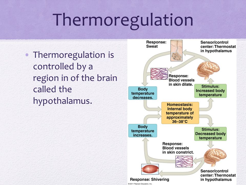 Thermoregulation Thermoregulation is controlled by a region in of the brain called the hypothalamus.