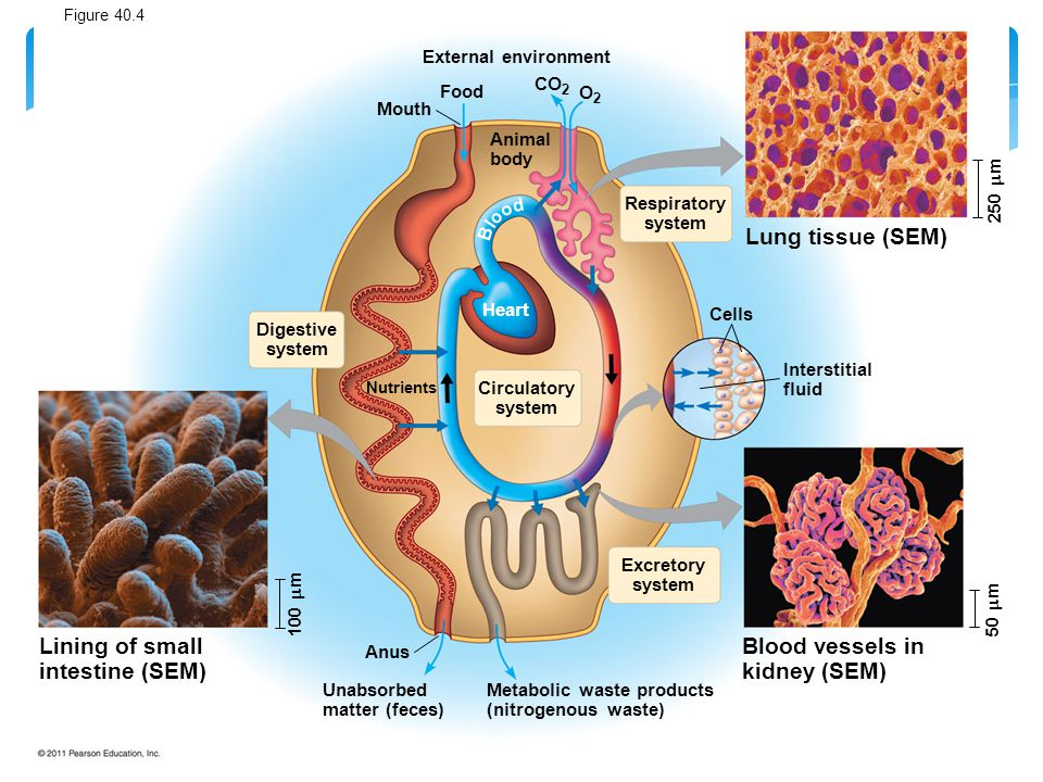 External environment Food Mouth Animal body Respiratory system CO 2 O2O2 Lung tissue (SEM) Cells Interstitial fluid Excretory system Circulatory syste