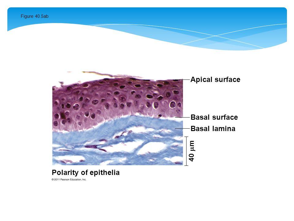 Figure 40.5ab Apical surface Basal surface Basal lamina 40  m Polarity of epithelia