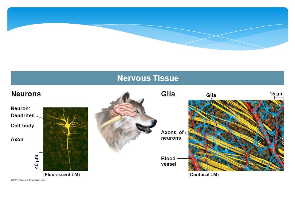 Neurons Neuron: Dendrites Cell body Axon (Fluorescent LM) 40  m Glia Axons of neurons Blood vessel (Confocal LM) 15  m
