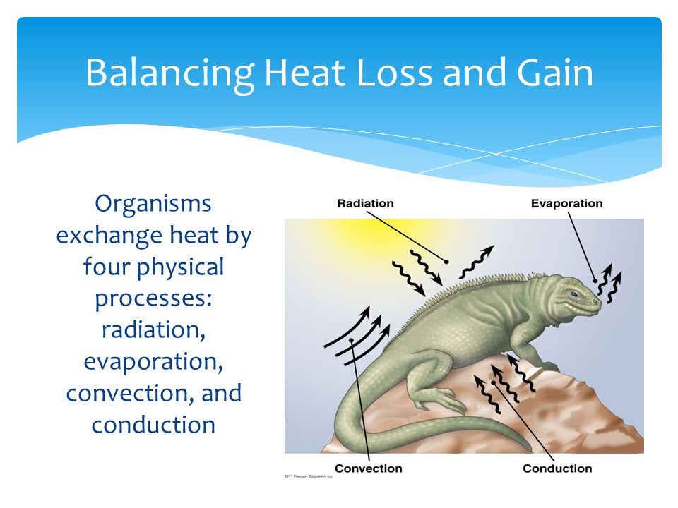 Balancing Heat Loss and Gain Organisms exchange heat by four physical processes: radiation, evaporation, convection, and conduction